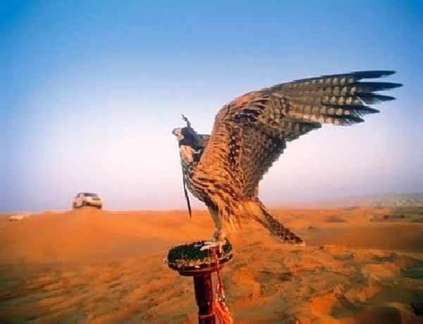 Falcon - Luxuria Tours & Events