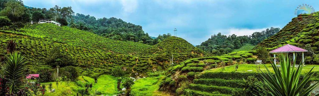 Cameron Highland-Tea Farms 2-Malaysia - Luxuria Tours & Events